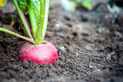 Red radish growing out of the ground.  Stock Images