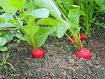 Red radish grows in the soil Stock Image