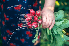 Red radish in hand while harvesting Royalty Free Stock Image