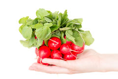 Red radish isolated on white in human hand Stock Photo