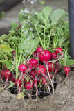 Red radish with leafs. Fresh picked red radishes being washed, Ridichi rosii proaspat culese, sub jet de apa Royalty Free Stock Photography