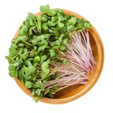 Red radish microgreens in wooden bowl over white. Red radish microgreens in wooden bowl. Cotyledons of Raphanus sativus, an edible root vegetable, mostly eaten Royalty Free Stock Photo
