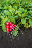 Red radish plants with bunch of radishes. Red radish plants growing in the garden with bunch of radishes Stock Image