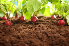 Red radish plants growing in soil Royalty Free Stock Image
