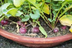 Red radish in pot. Red radish in the flower pot, grown in the home garden stock photography