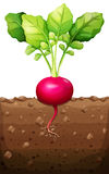 Red radish with roots underground Stock Photo