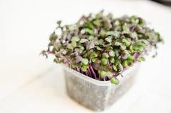 Red Radish seedlings Stock Images
