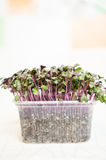 Red Radish seedlings Royalty Free Stock Photo