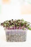 Red Radish seedlings Royalty Free Stock Photo