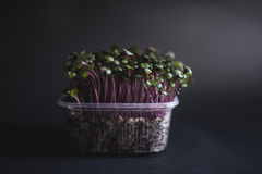 Red Radish seedlings. Red Radish organic sprouting seedlings, fresh and healthy, on dark background Royalty Free Stock Image
