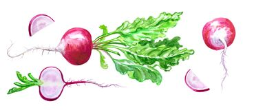 Red radish, set, watercolor drawing on white background