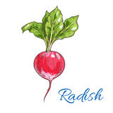Red radish vegetable sketch for farming design Stock Photography