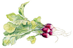 Red radish. Royalty Free Stock Photo