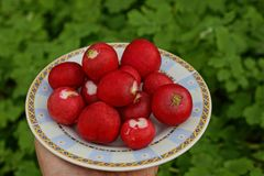 Red radish on a white plate on a hand Stock Images