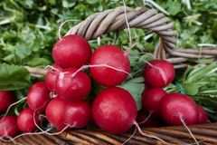 Radishes in the basket. Red radishes in the basket Royalty Free Stock Photos