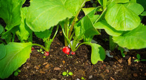 Red radishes grow Stock Image