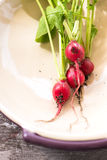 Red radishes harvested from garden in a plate. Organic, small, red radishes, freshly harvested from home grown garden. in a metal plate  over a brown wood Stock Photography