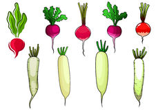 Red radishes and white daikon vegetables Royalty Free Stock Image