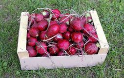Red radishes in a wooden box Royalty Free Stock Image