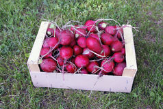 Red radishes in a wooden box Stock Photography
