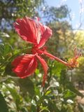 Red Rage. Exotic flower around the gardens near us Royalty Free Stock Image