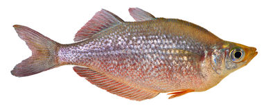 Red Rainbow fish. Isolated on white background.Glossolepis incisus royalty free stock images