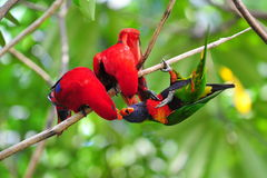 Red and Rainbow lorikeets Royalty Free Stock Image