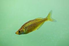 Red rainbowfish Glossolepis incisus Royalty Free Stock Photo