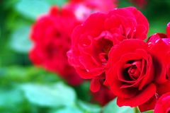 Red rambling rose. Royalty Free Stock Images