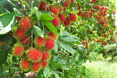 Red rambutan Stock Photography