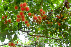 Red rambutan on tree. Red rambutan fruit with green hair on the tree Royalty Free Stock Photo