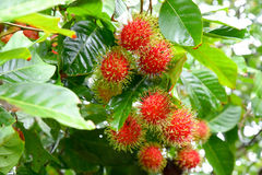 Red rambutan on tree. Red rambutan fruit with green hair on the tree Royalty Free Stock Images
