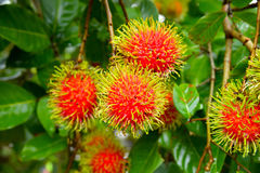 Red rambutan on tree. Red rambutan fruit with green hair on the tree Royalty Free Stock Photos