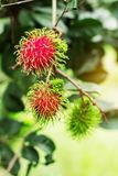 Red rambutan on tree. stock images