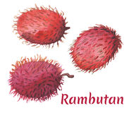 Red rambutan on white background. Tropical fruit watercolor painting Stock Photography