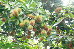 Red rambutans and green leafs Royalty Free Stock Image