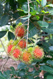 Red rambutans and green leafs. Fresh rambutans and green leafs in the field Stock Photo