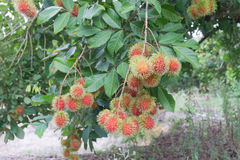 Red rambutans on tree branch. Red rambutans hanging on tree branch Royalty Free Stock Photo