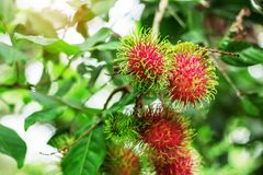 Red rambutans on tree. Red rambutans on tree with green background Royalty Free Stock Image