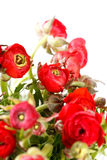 Red Ranunculus Royalty Free Stock Image