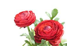 Red ranunculus Stock Image