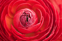 Red ranunculus Royalty Free Stock Photography