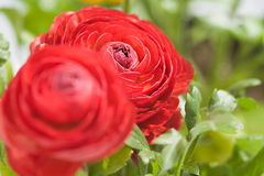 Red Ranunculus Stock Photography