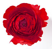 Red ranunculus Stock Images