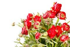 Red Ranunculus Royalty Free Stock Photos