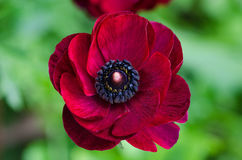 Red Ranunculus. A red ranunculus on a blurry green background Stock Photos