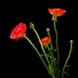 Red Ranunculus asiaticus Stock Photo