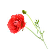 Red Ranunculus asiaticus Stock Photography