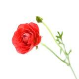 Red Ranunculus asiaticus Stock Photography