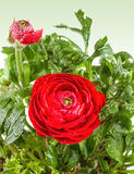 Red Ranunculus closeup Stock Image